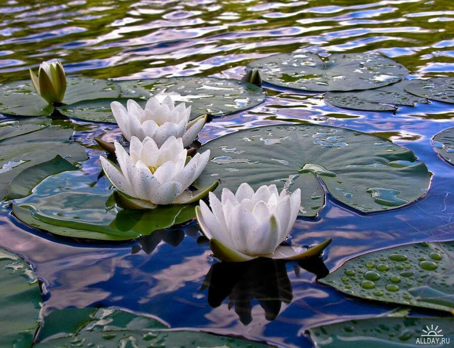 Water lilies beautiful reflections pinterest
