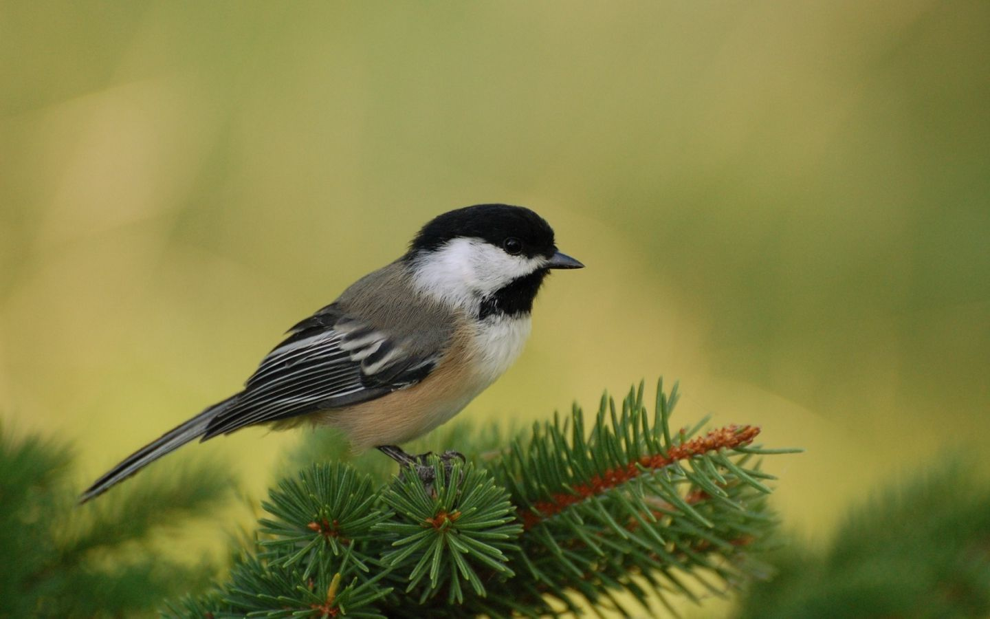 Massachusetts state bird the Chickadee My heart is in New England