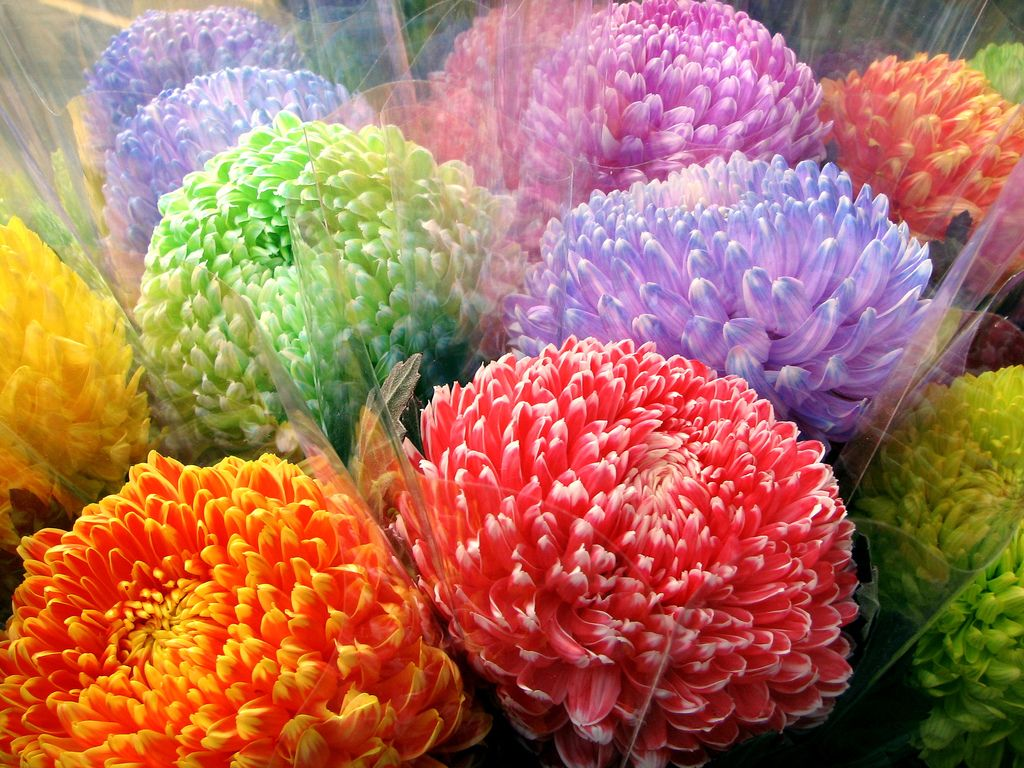 Colorful Mums Flowers