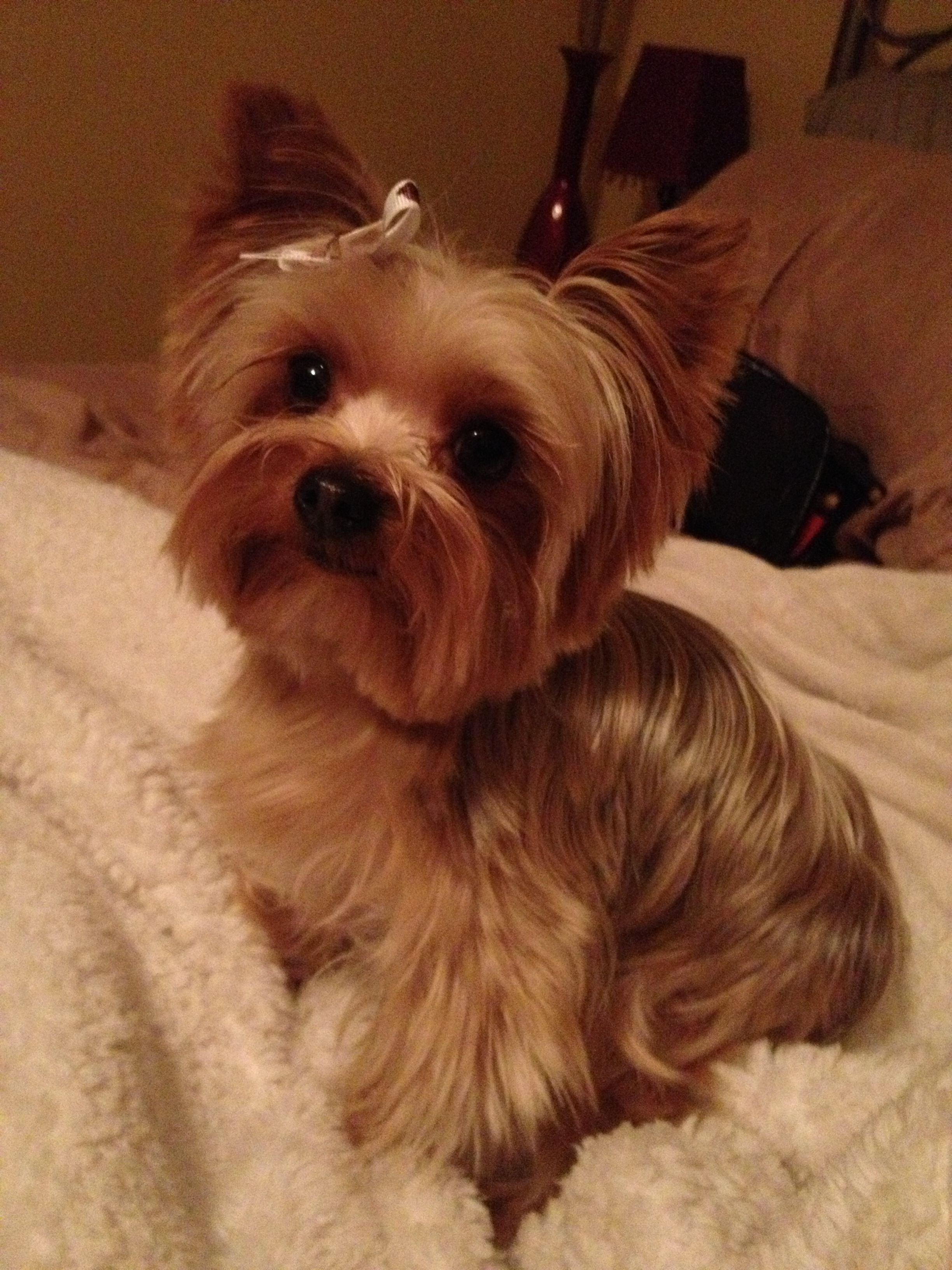 Perfect Yorkie Haircut Yorkie Cute Cuts Pinterest