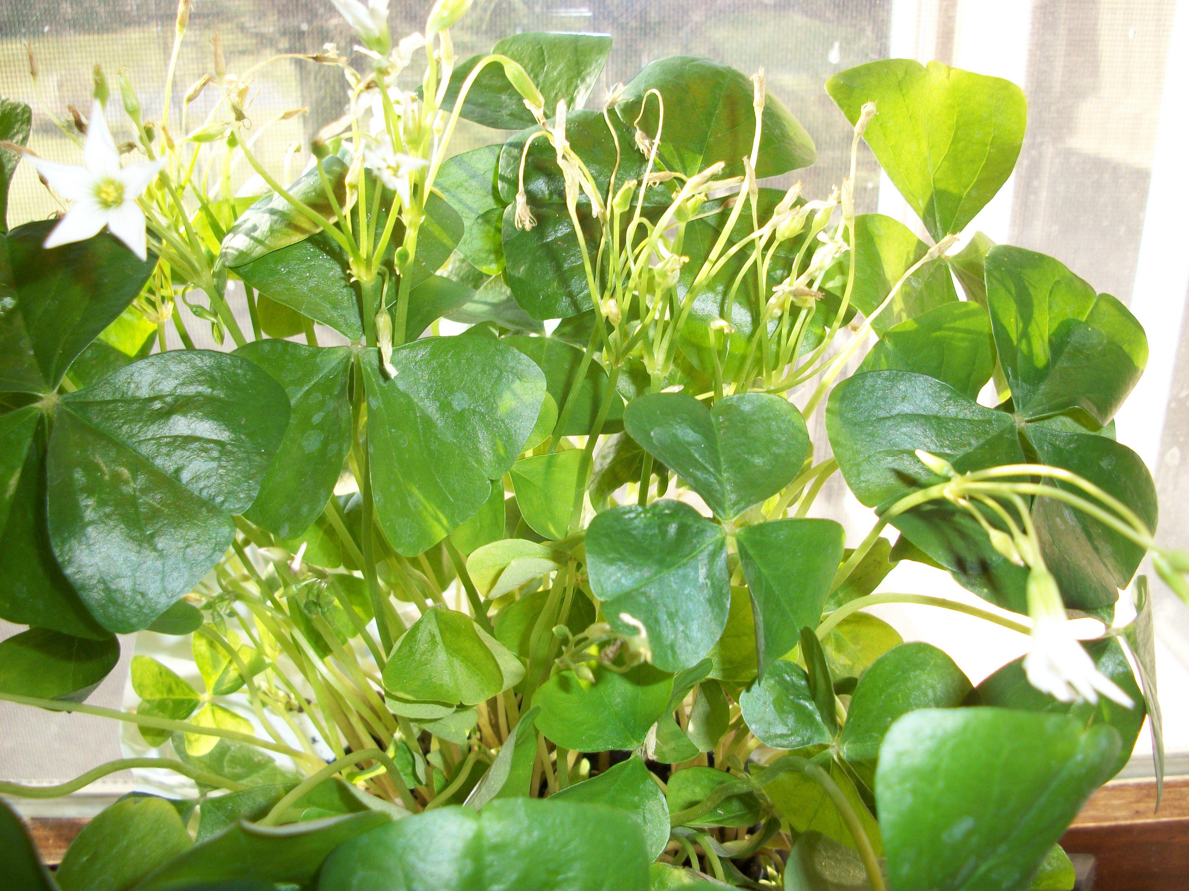 Shamrock house plant plants pinterest - Shamrock houseplant ...