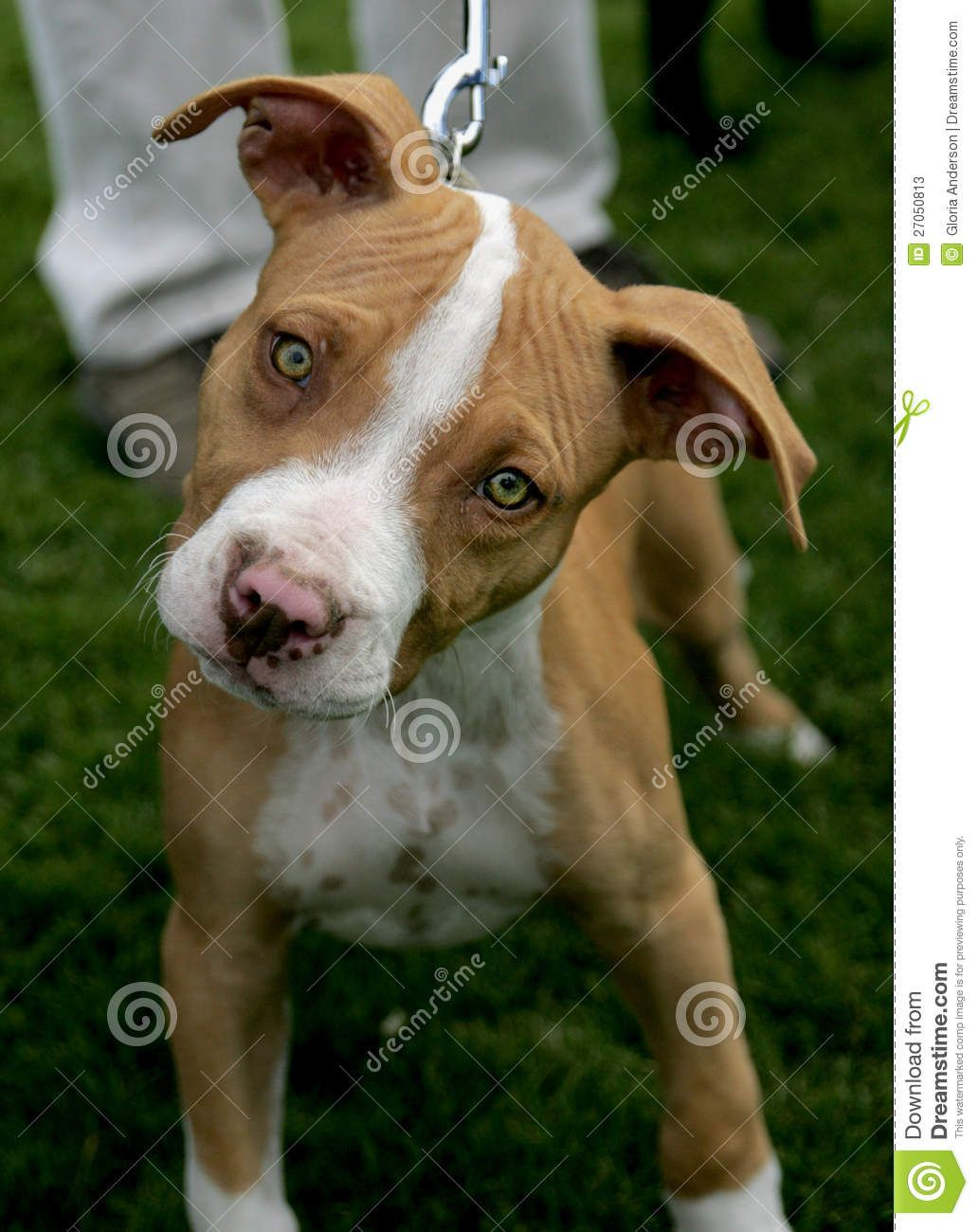 Pitbull dog puppies cute