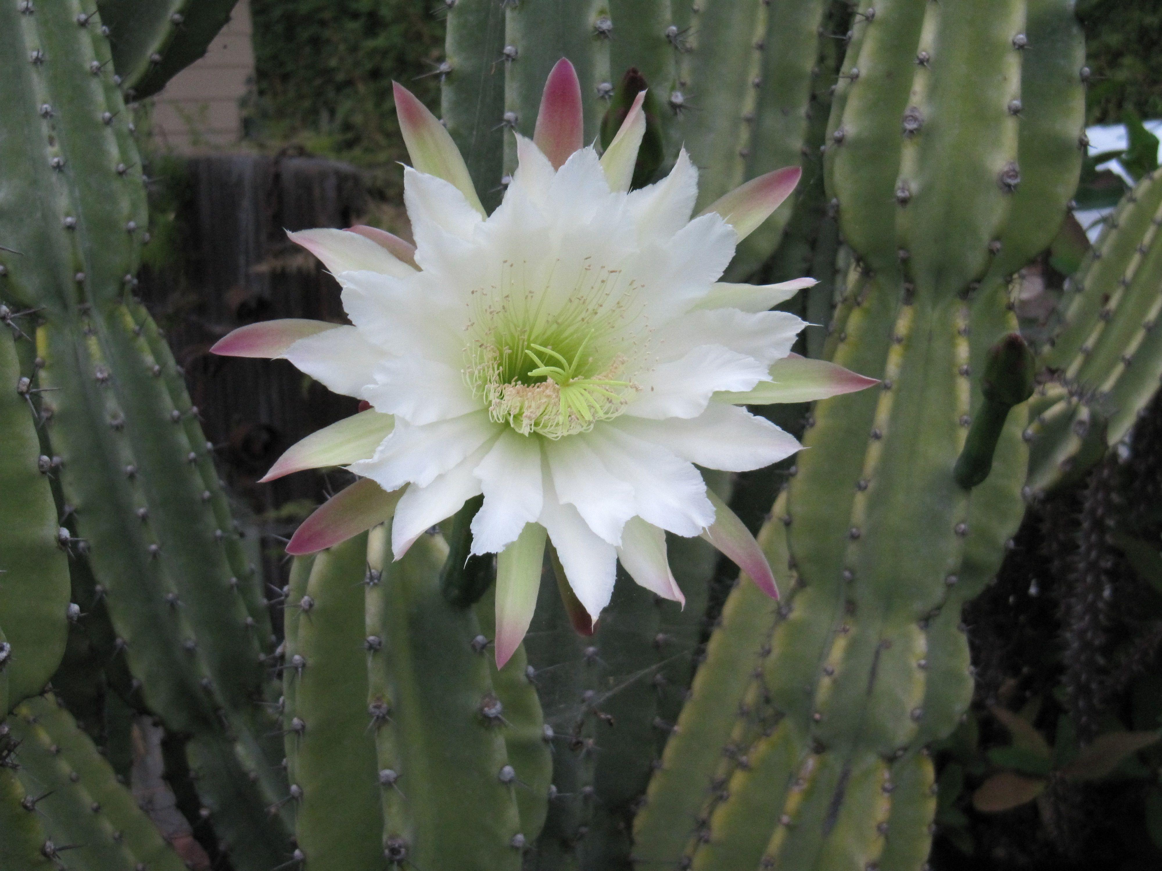 White Cactus Flower Cacti