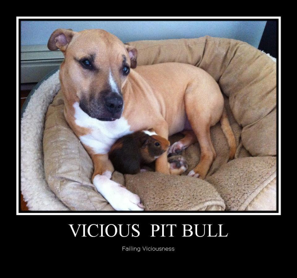 Pitbulls Vicious or Harmless