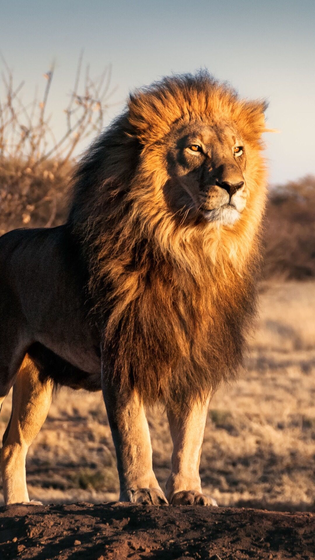 Overnight With the Lions by Jennifer Leigh Edwards Free pictures of lions roaring
