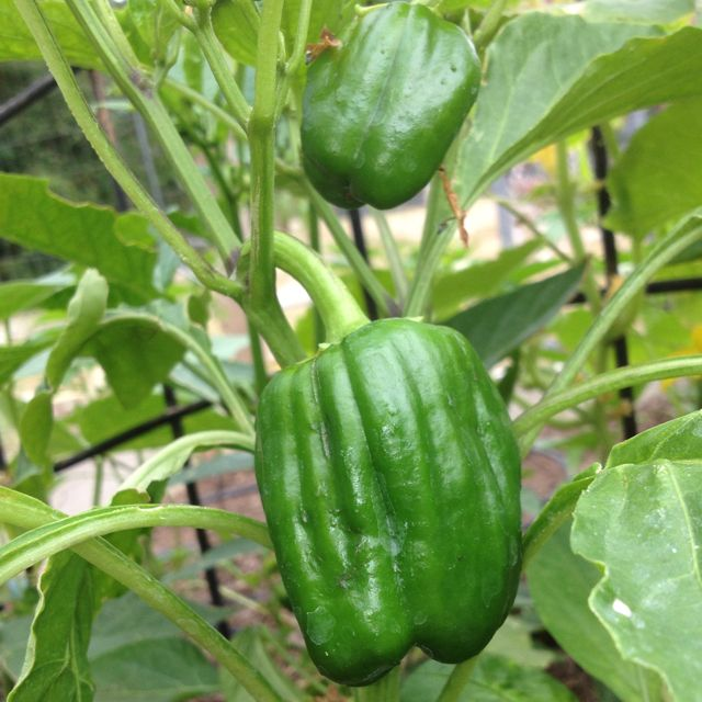 Another bell pepper plant very happy y1 pinterest - Planting pepper garden ...