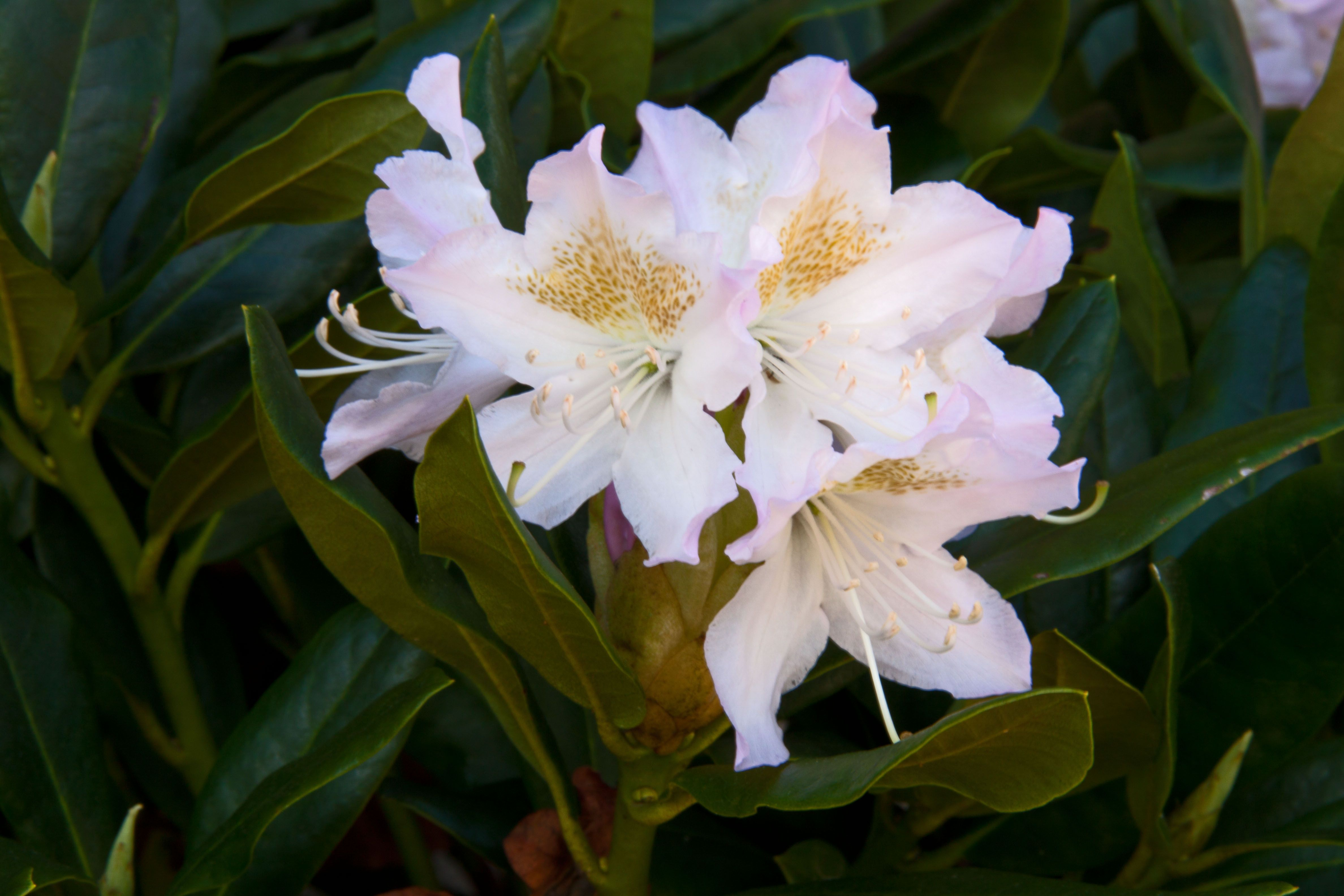 rhododendron 39 cunningham white 39 plants flowers pinterest. Black Bedroom Furniture Sets. Home Design Ideas