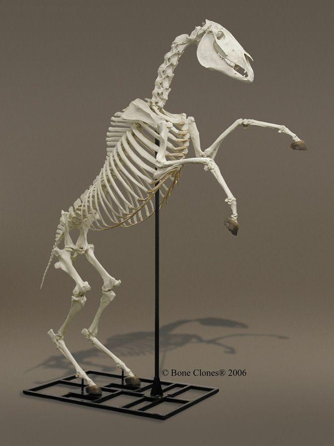 Как сделать скелет лошади