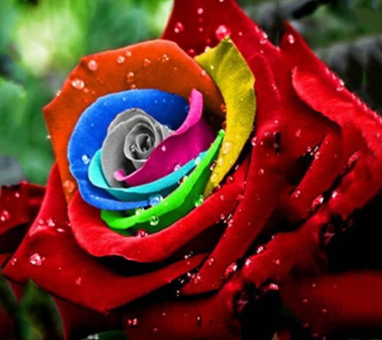 A beautiful rainbow colored rose beautiful flower roses for Rainbow colored rose