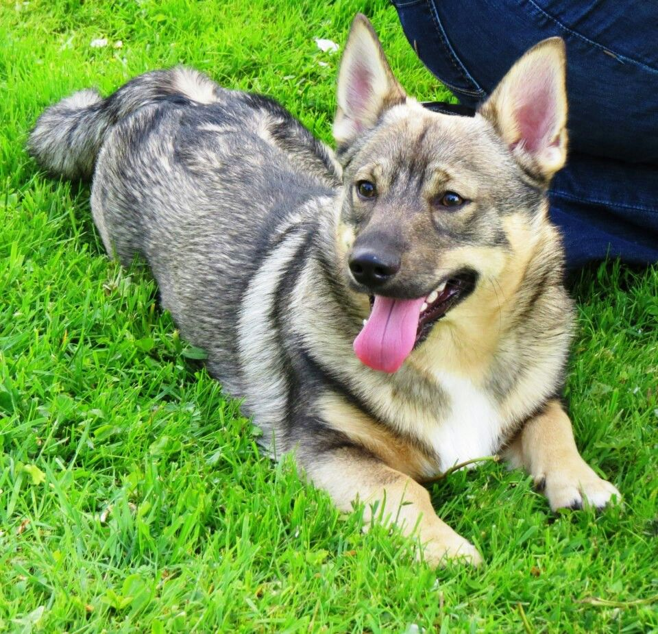 Swedish Vallhund | Fauna | Pinterest