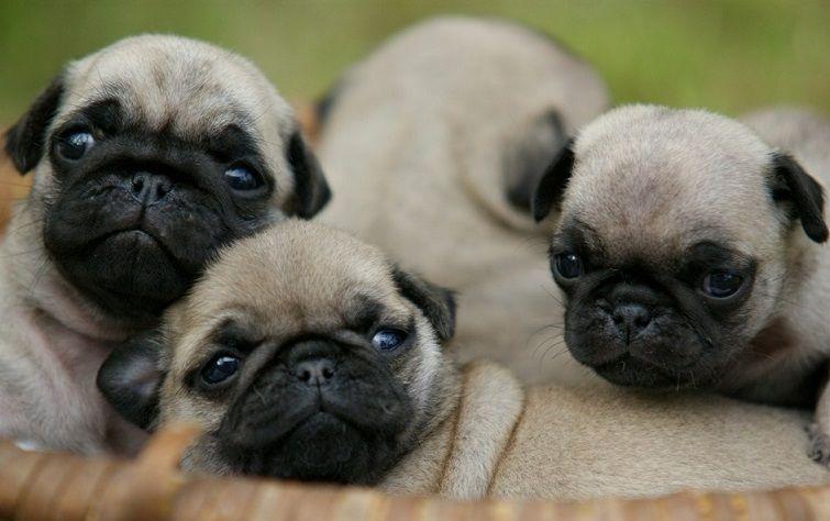 Cute Pug Puppies Bow Wow Pinterest