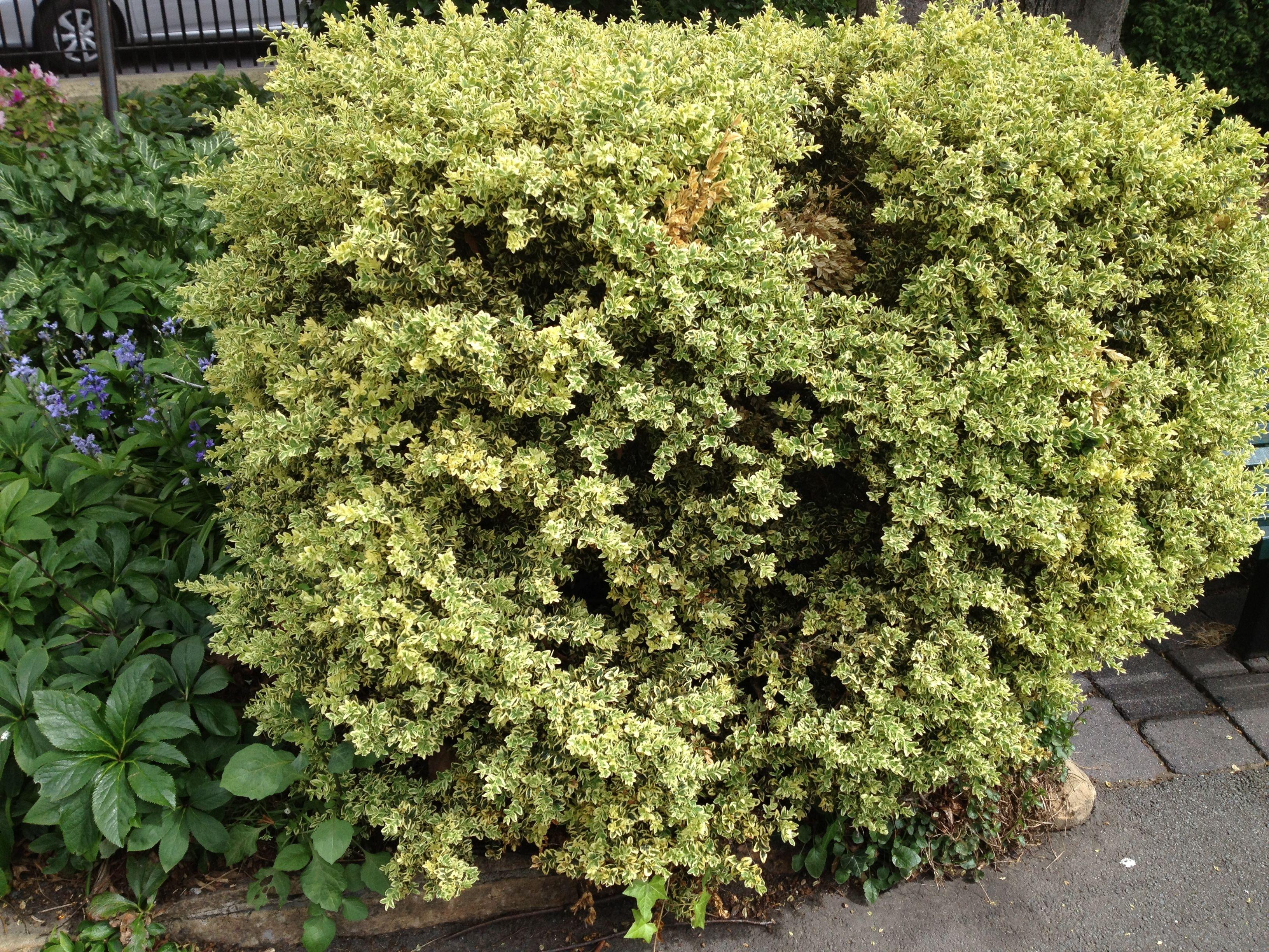 variegated english boxwood hedge wwwimgkidcom the