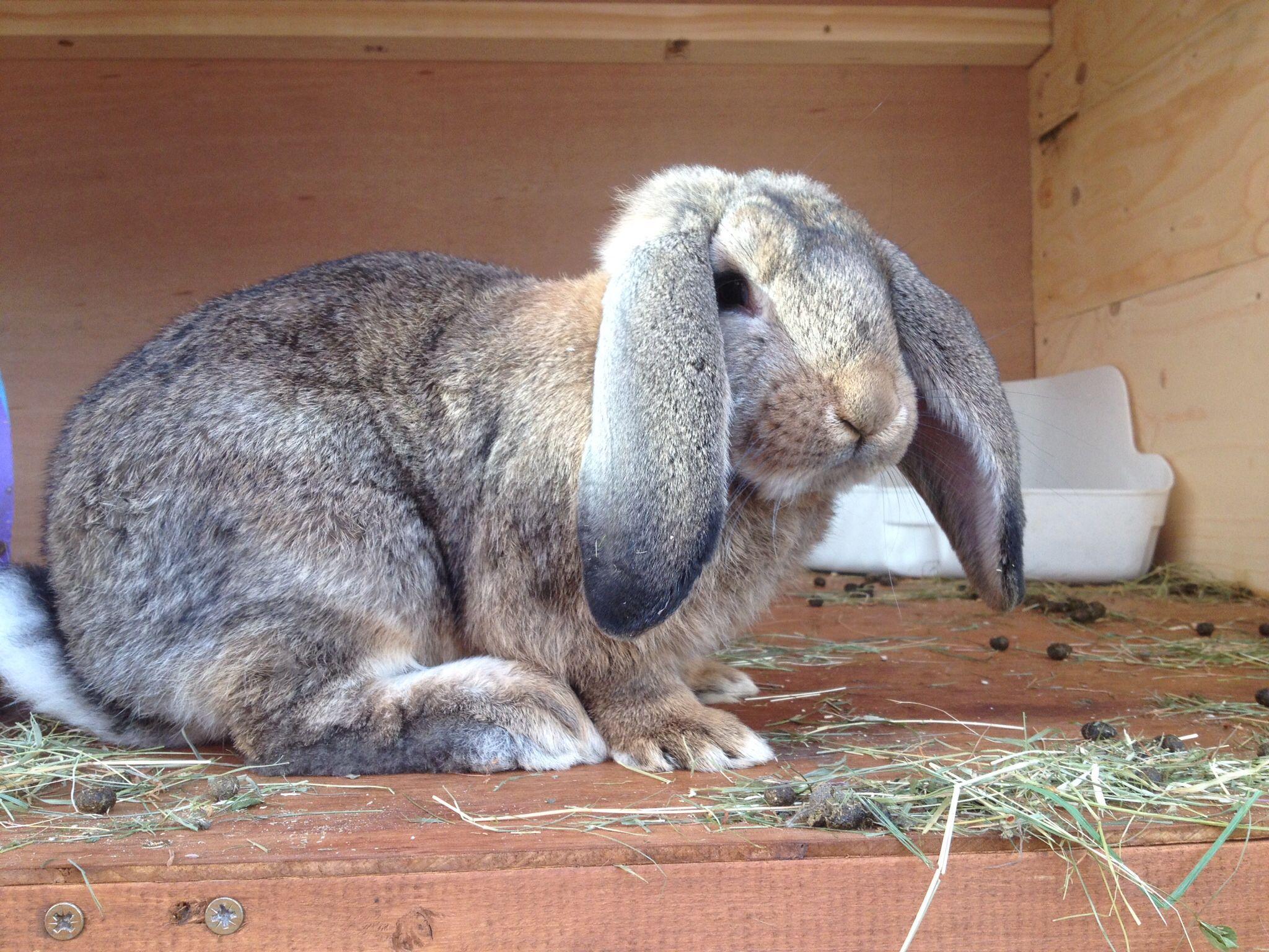 Rupert the French lop rabbit | Cuties | Pinterest