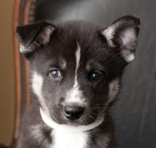 Husky/Akita Mix | Puppy Love | Pinterest