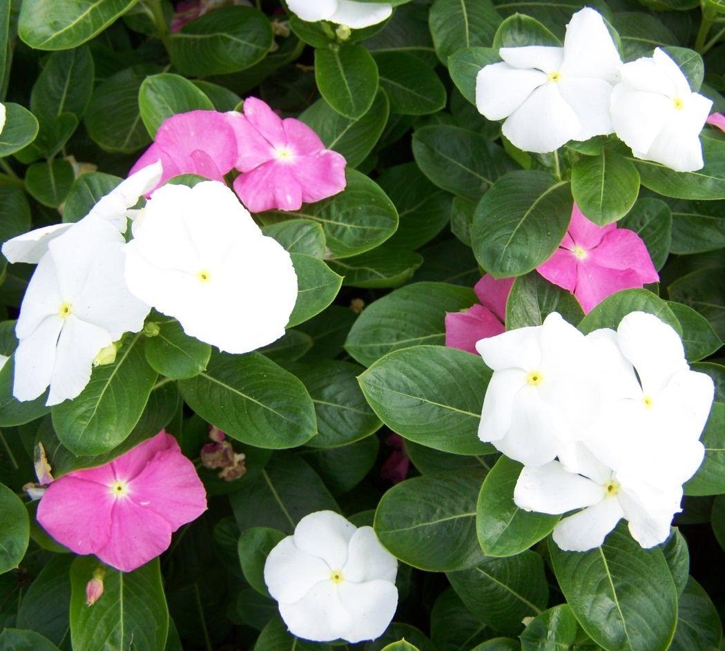 Vinca sunshine and flowers