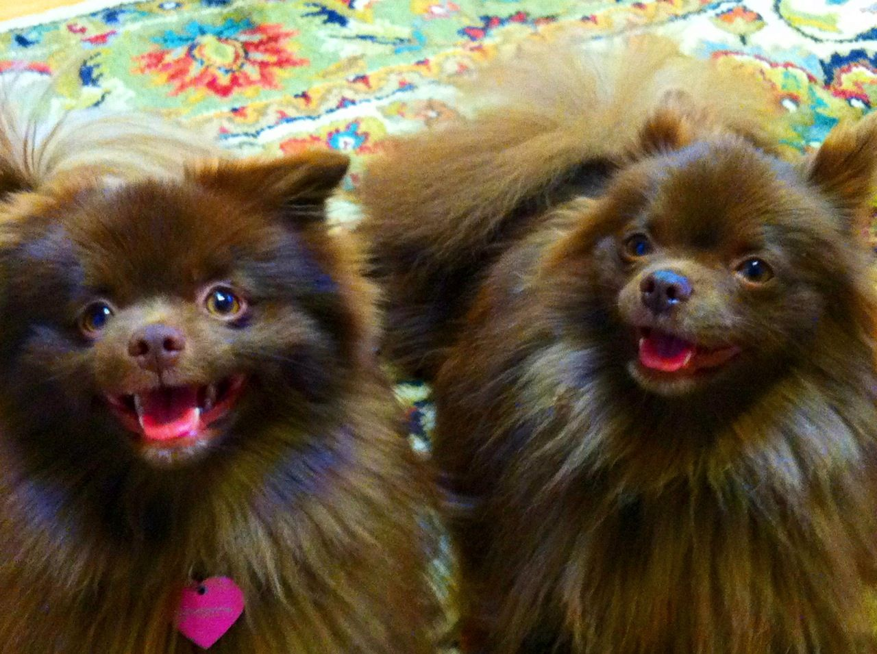 Brown pomeranian - photo#22