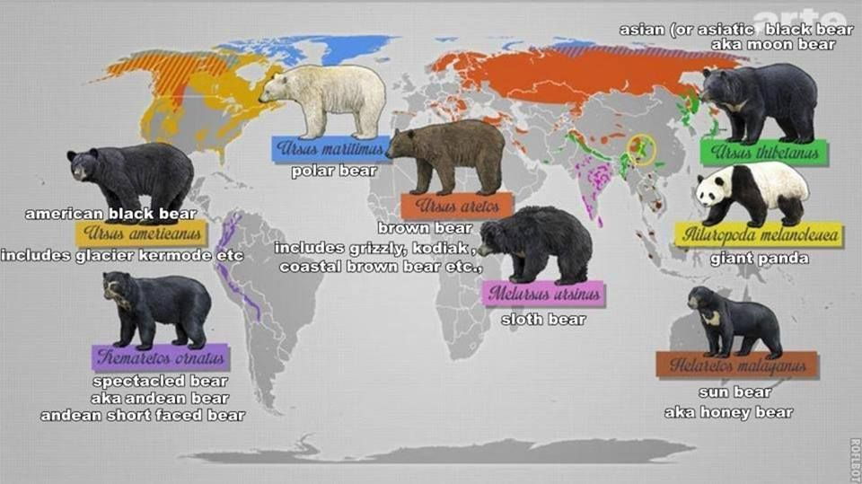 Polar bear vs black bear