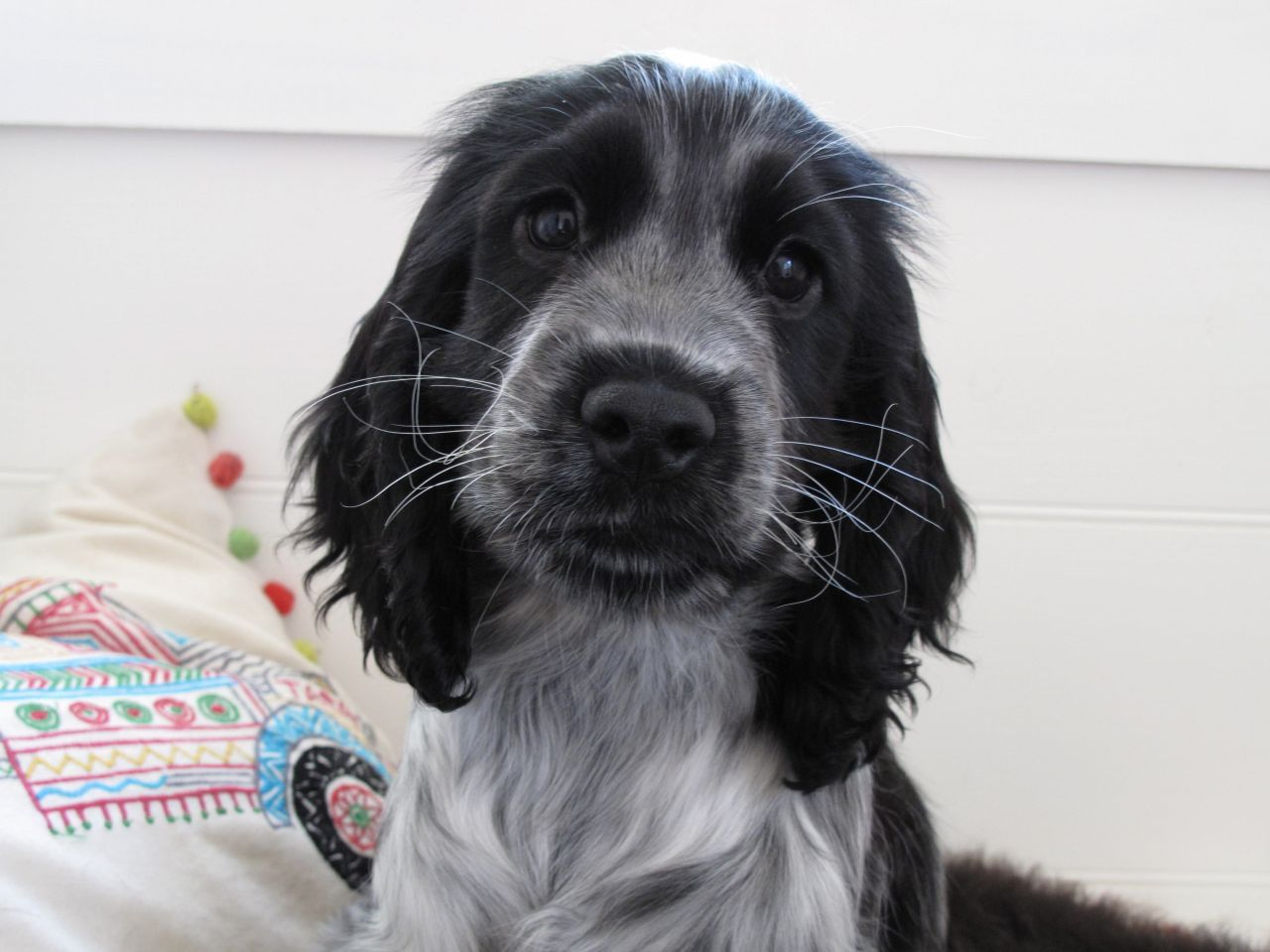Cocker spaniel - Dogs and Puppies, Rehome Buy Blue roan cocker spaniel photos