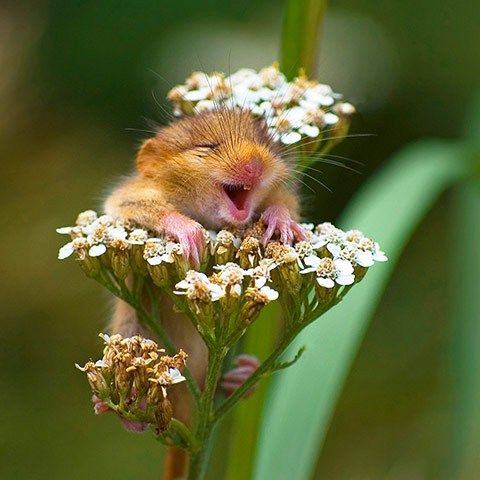"Dormouse ""laughter the best medicine..."""