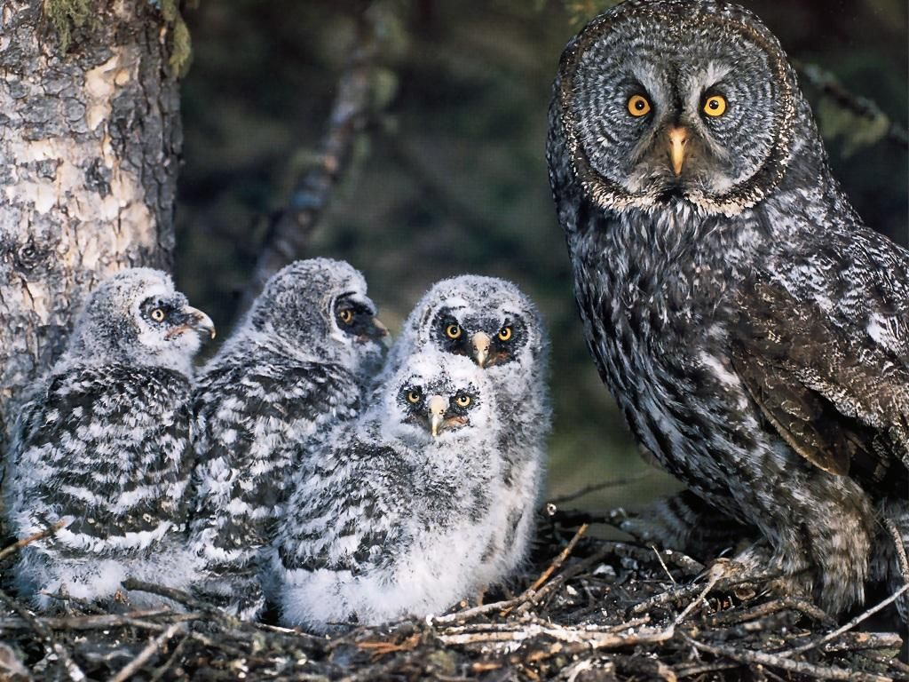 Great Gray Owl and Chicks | Strix nebulosa (Great Gray Owl ...