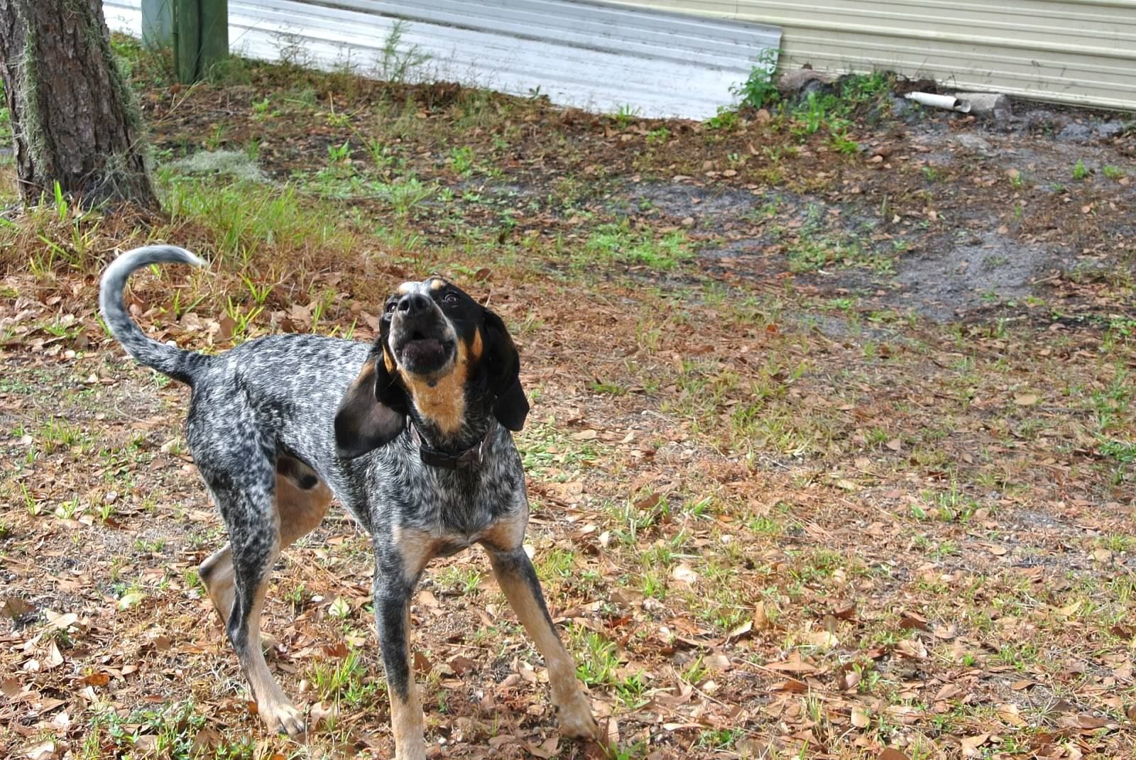 red haired blue tick hound dog breeds picture