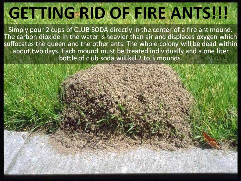 kill fire ants using soda gardening tips and ideas pinterest. Black Bedroom Furniture Sets. Home Design Ideas