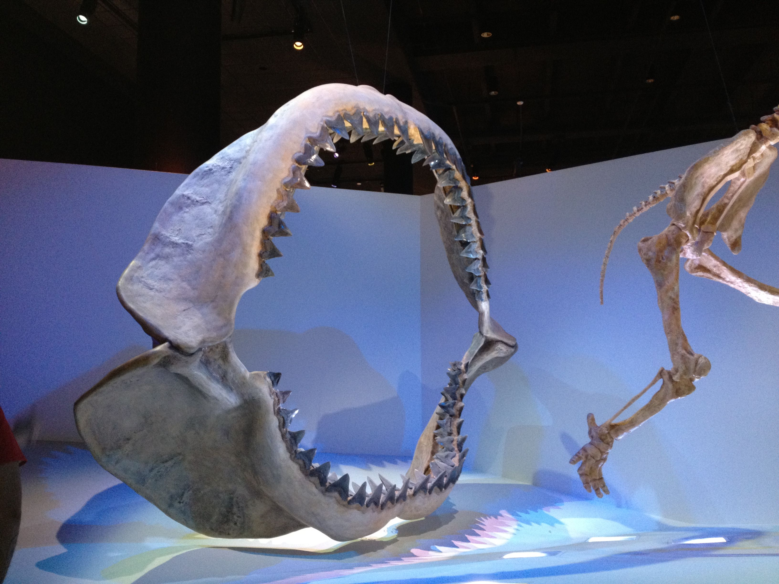 Prehistoric shark found