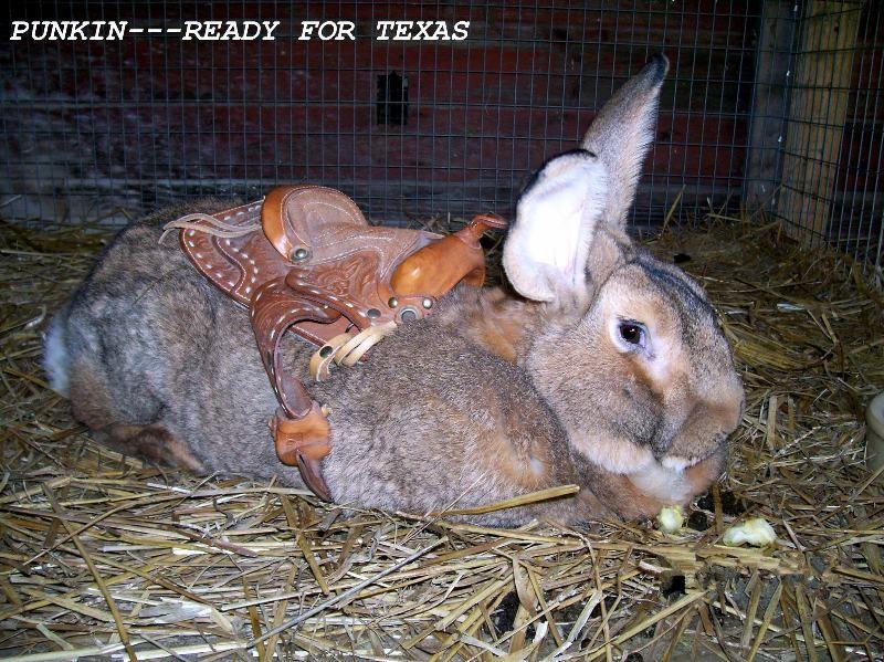 Flemish giant rabbit breeds