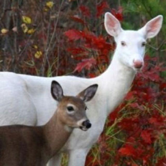 Albino Deer Cool Pictures Pinterest