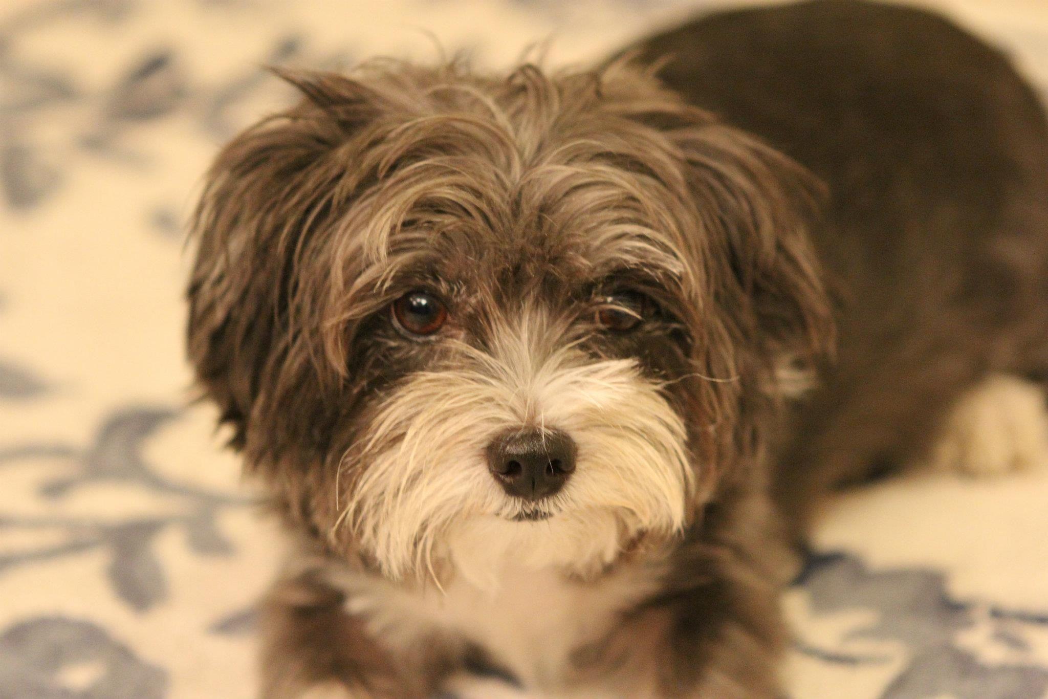 German Shepherd Maltese Mix | Dog Breeds Picture