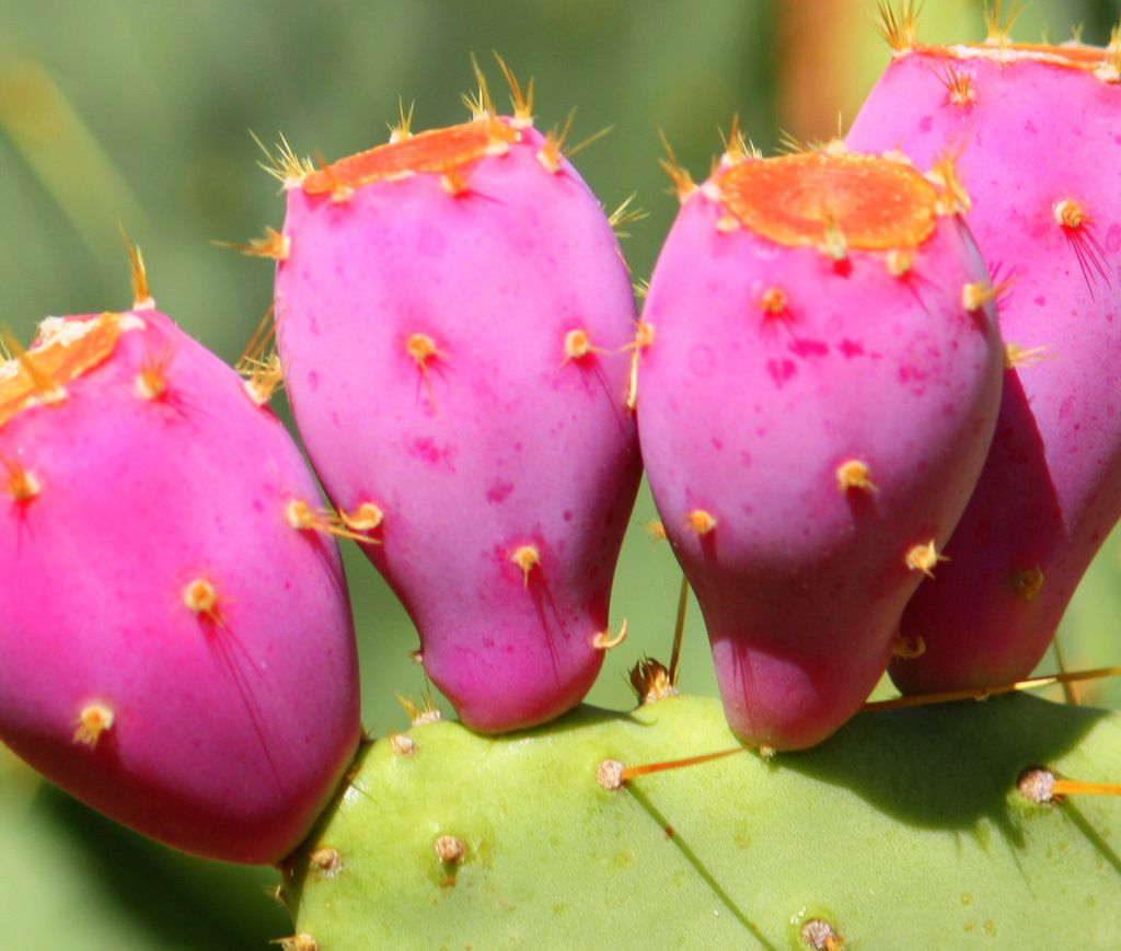 pear fruit prickly pear fruit