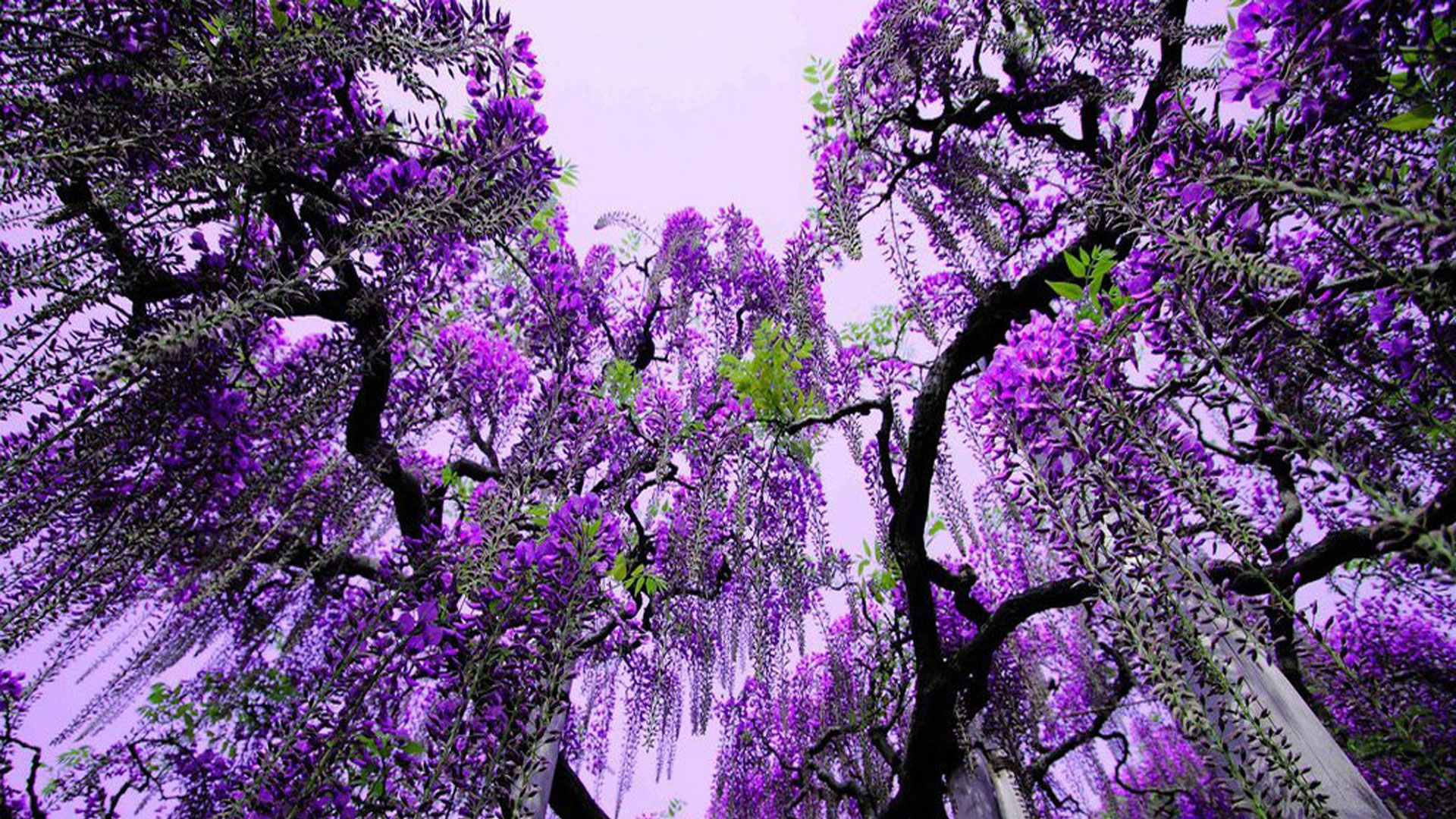 purple flowering tree flowers