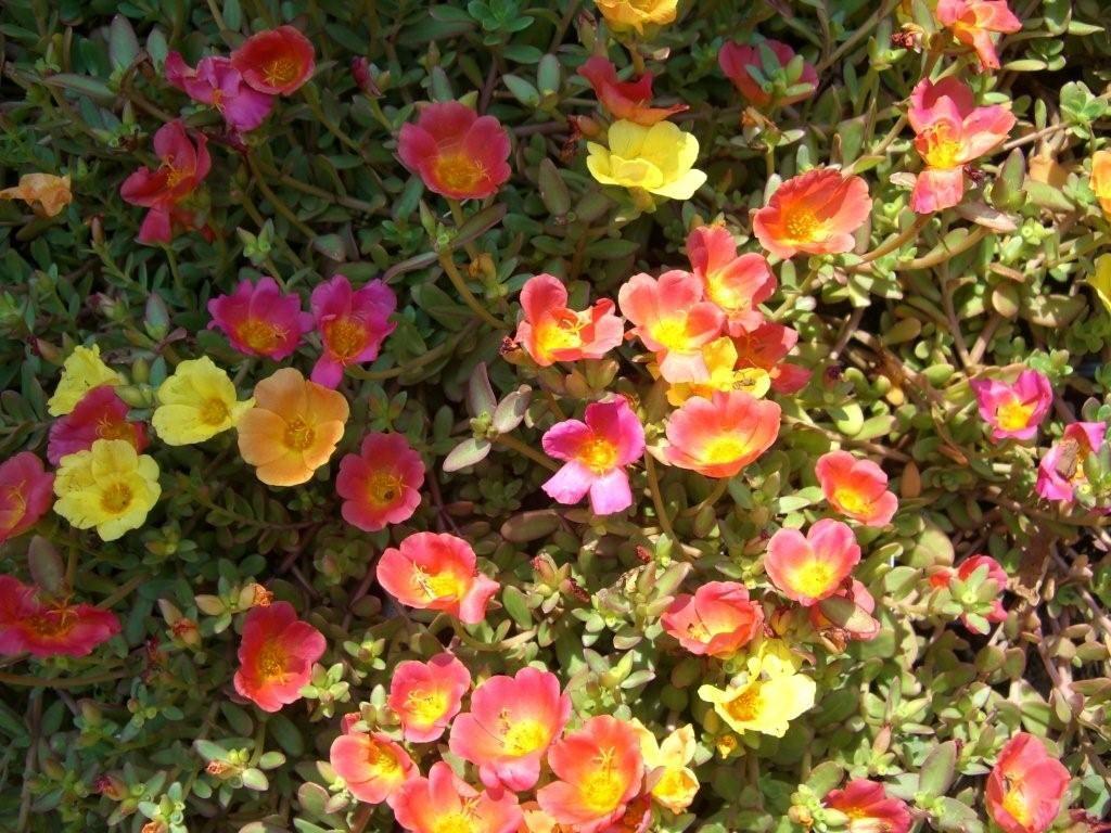 Heat Tolerant Plants Purslane Good Heat Resistant Plant