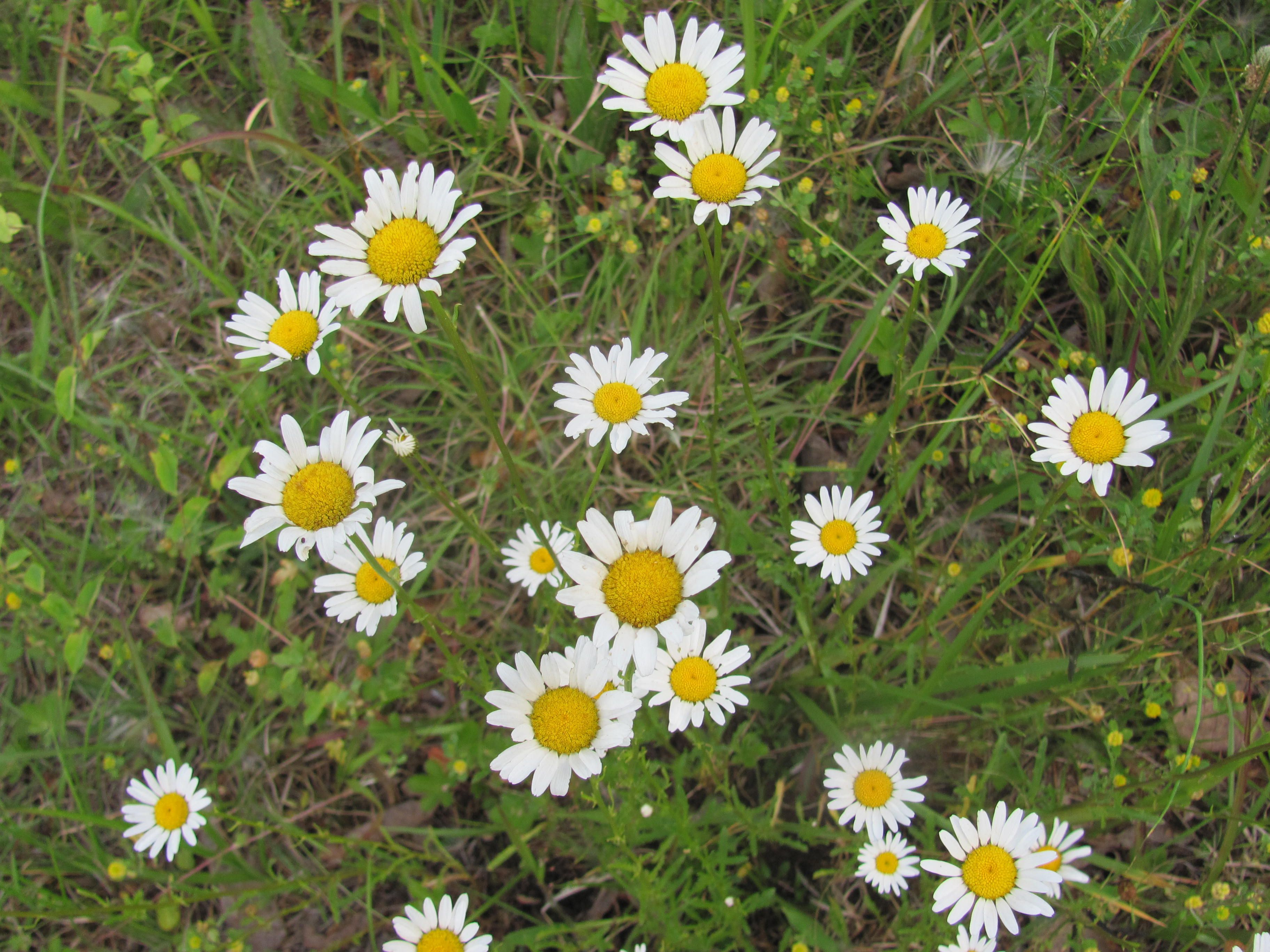 field of daisies | Photography | Pinterest Field Of Daisies