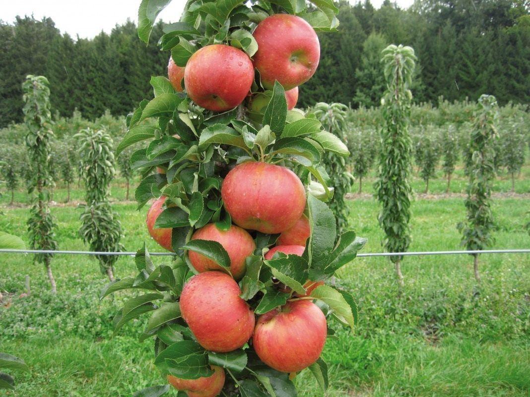 Кто сажал колоновидные яблони 604