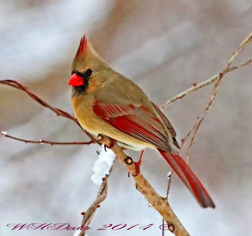 Female Cardinal ♥  Wonderful Woburn Pinterest