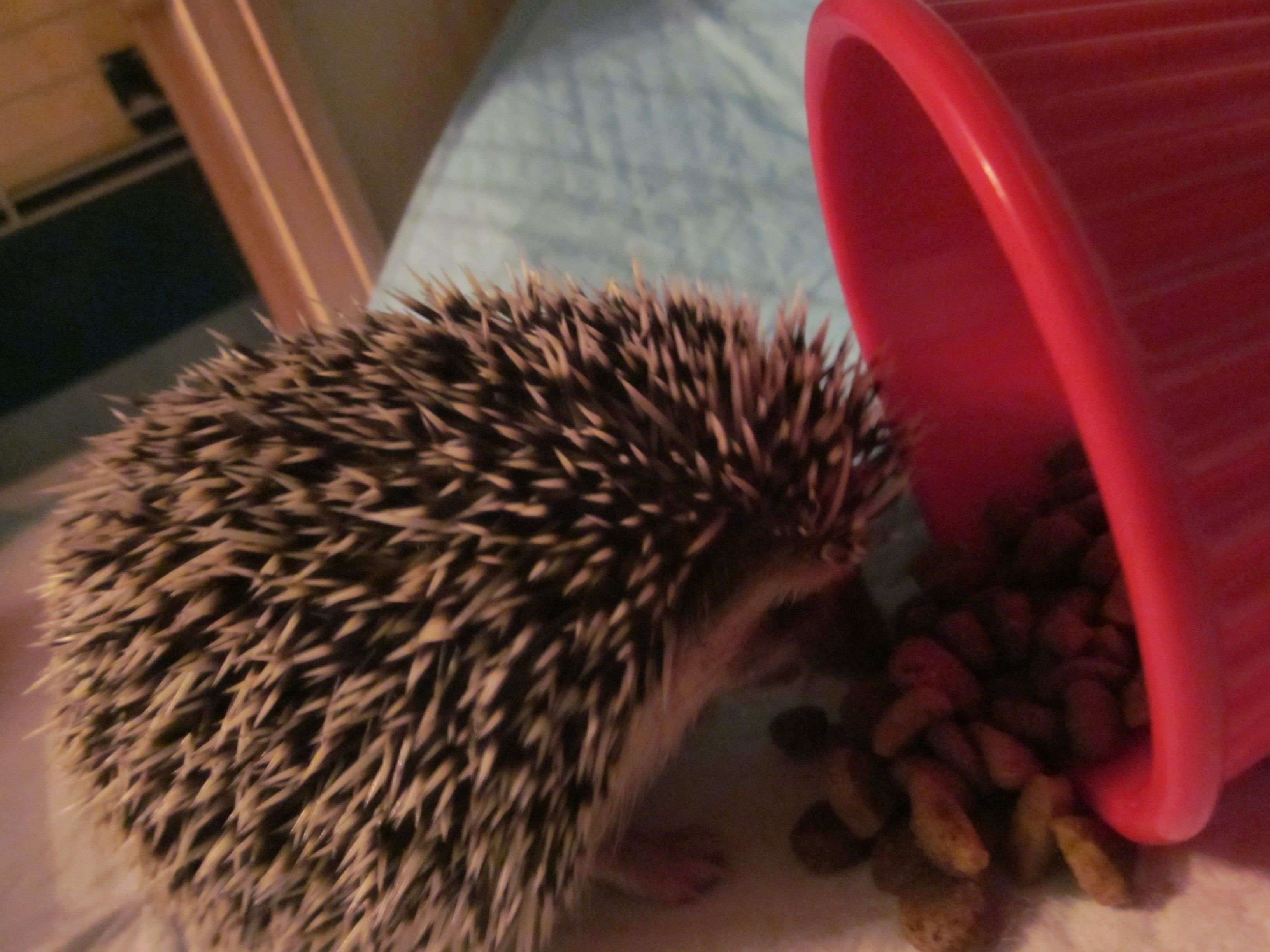 The cutest hedgehog in the world!!! | Hedgehogs :) | Pinterest