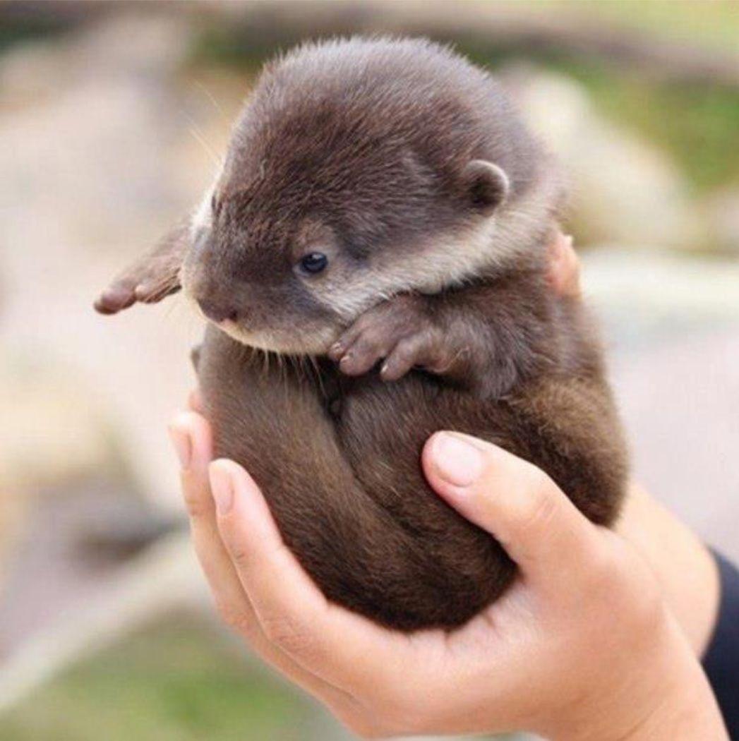 baby otter otters pinterest