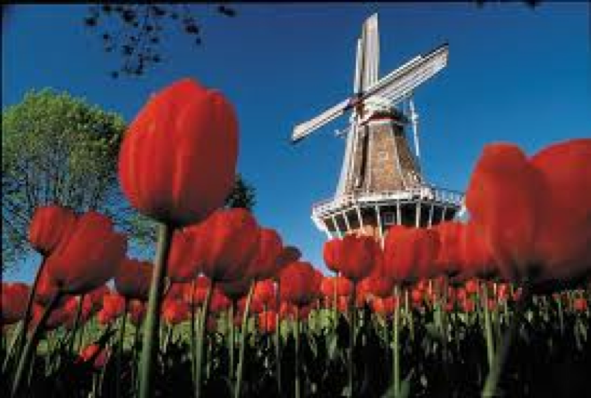 The Windmills and Tulips of Holland. | Windmills | Pinterest