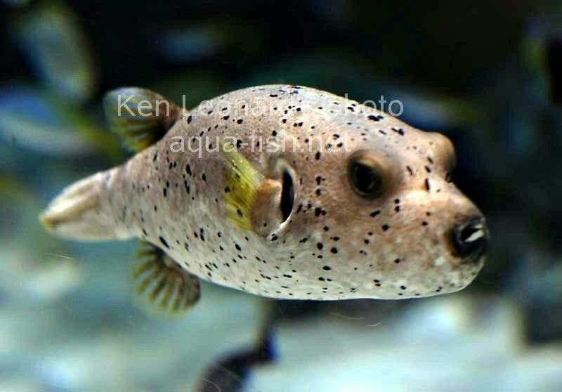 Black spotted dogface puffer salt water and tropical for Dog face puffer fish