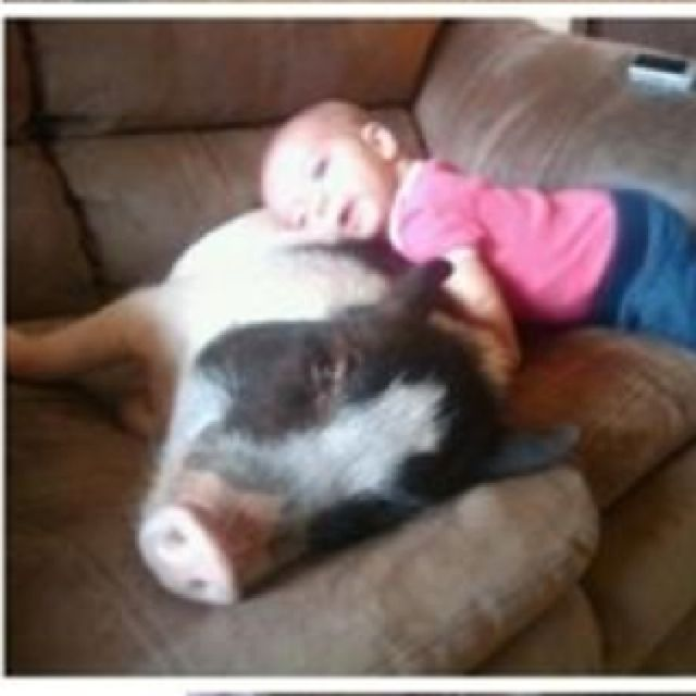 Pot bellied pig my style pinterest - Pot belly pigs as indoor pets ...