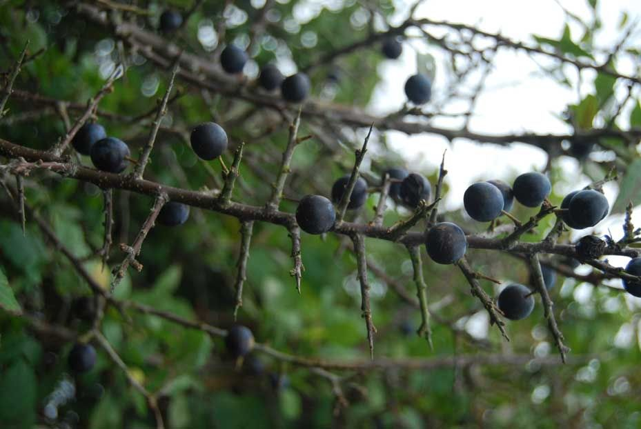 blackthorn tree - photo #20