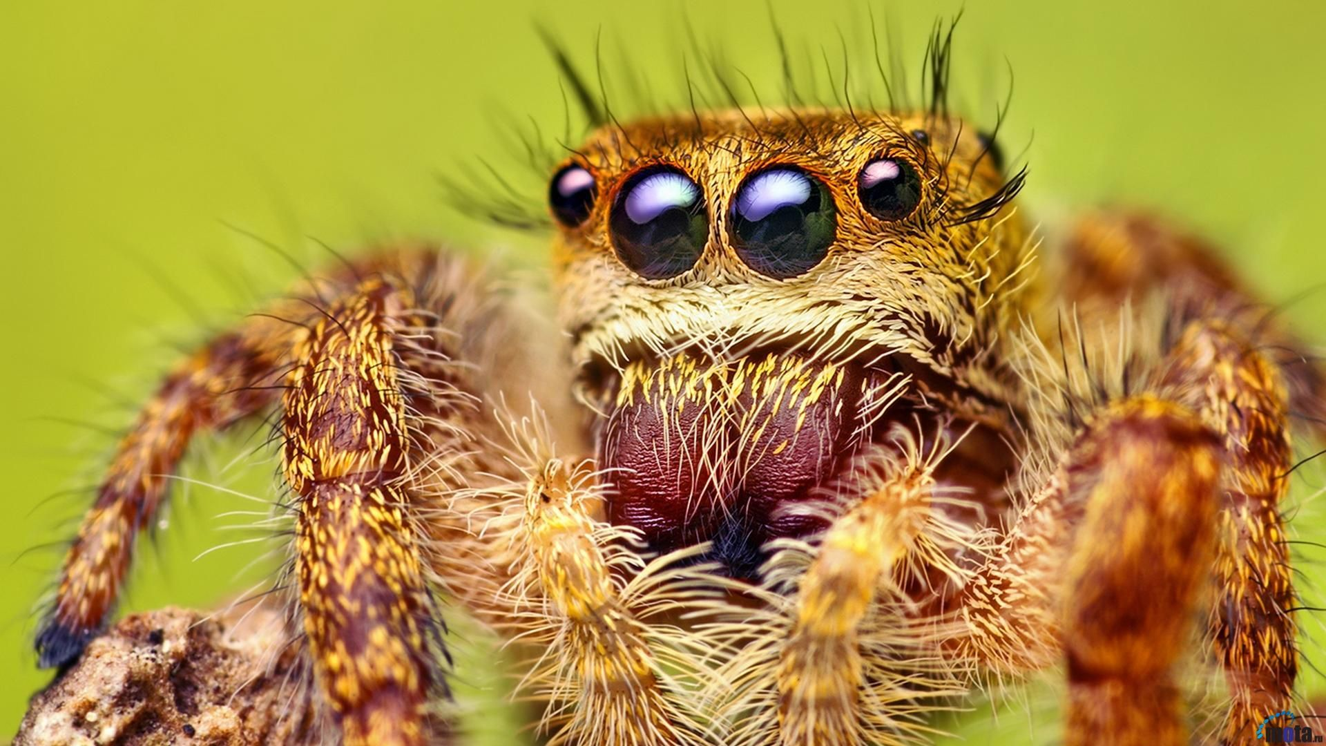 Cute jumping spider - photo#18