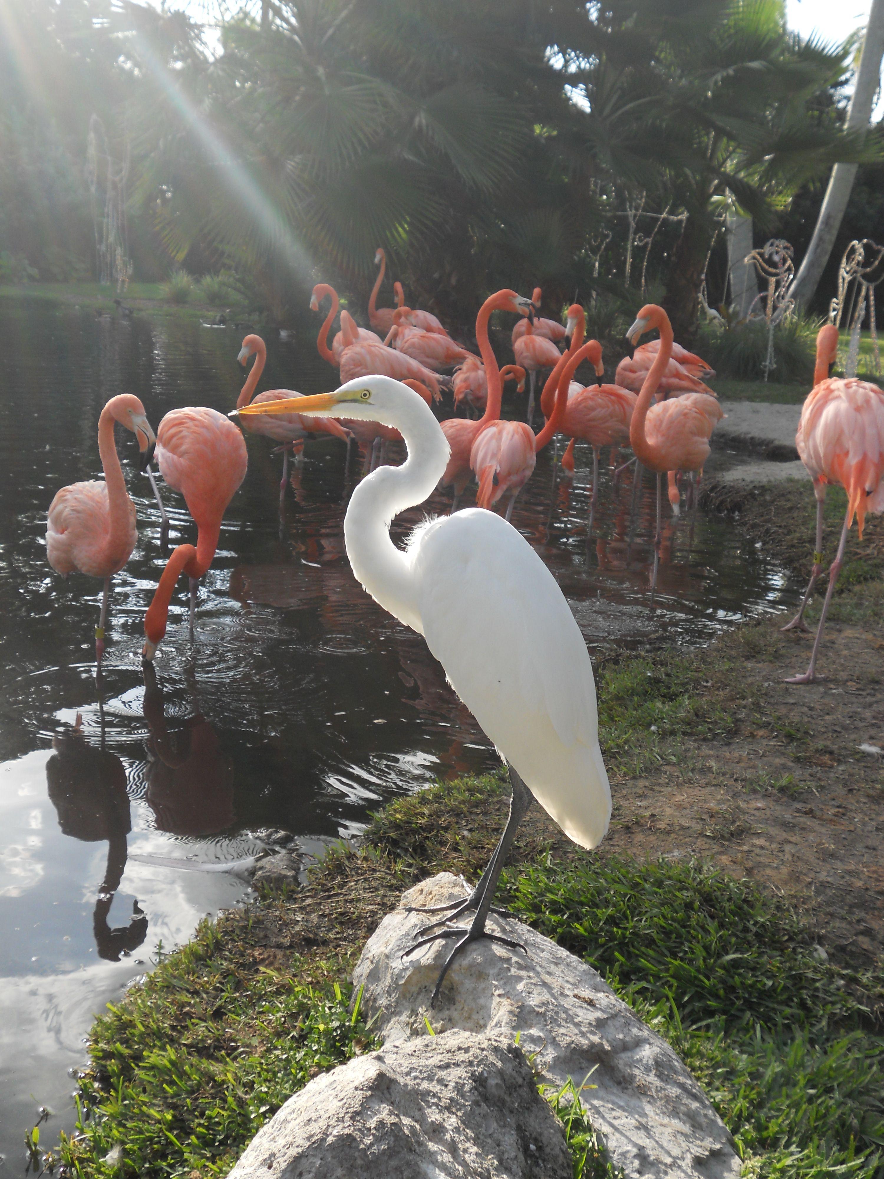 Sarasota Jungle Gardens Flamingos Pinterest