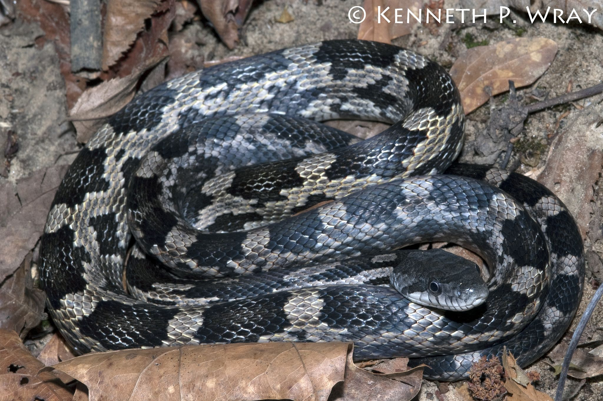 Young black rat snake pictures Cached