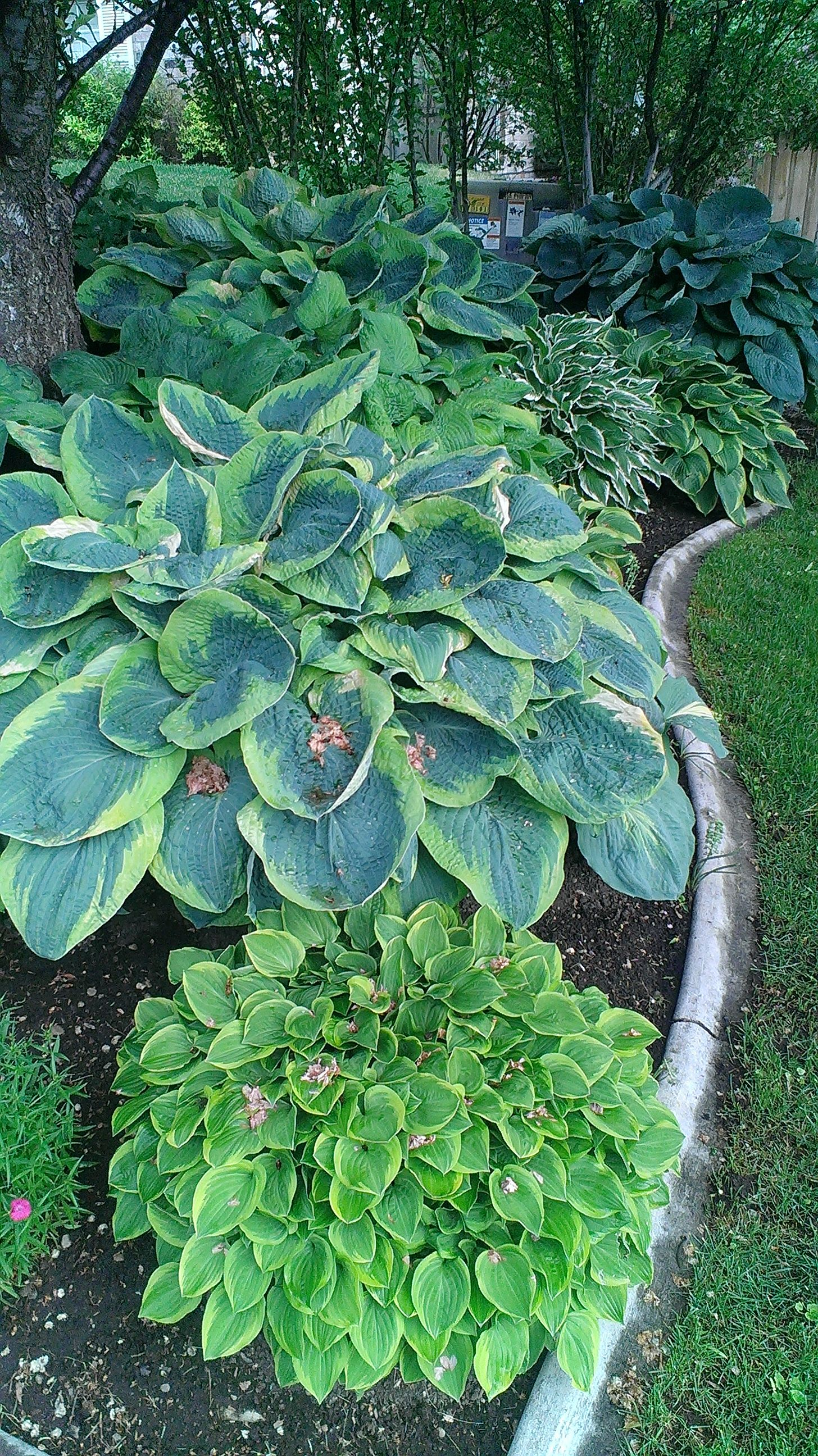 hosta plants outdoor ideas pinterest