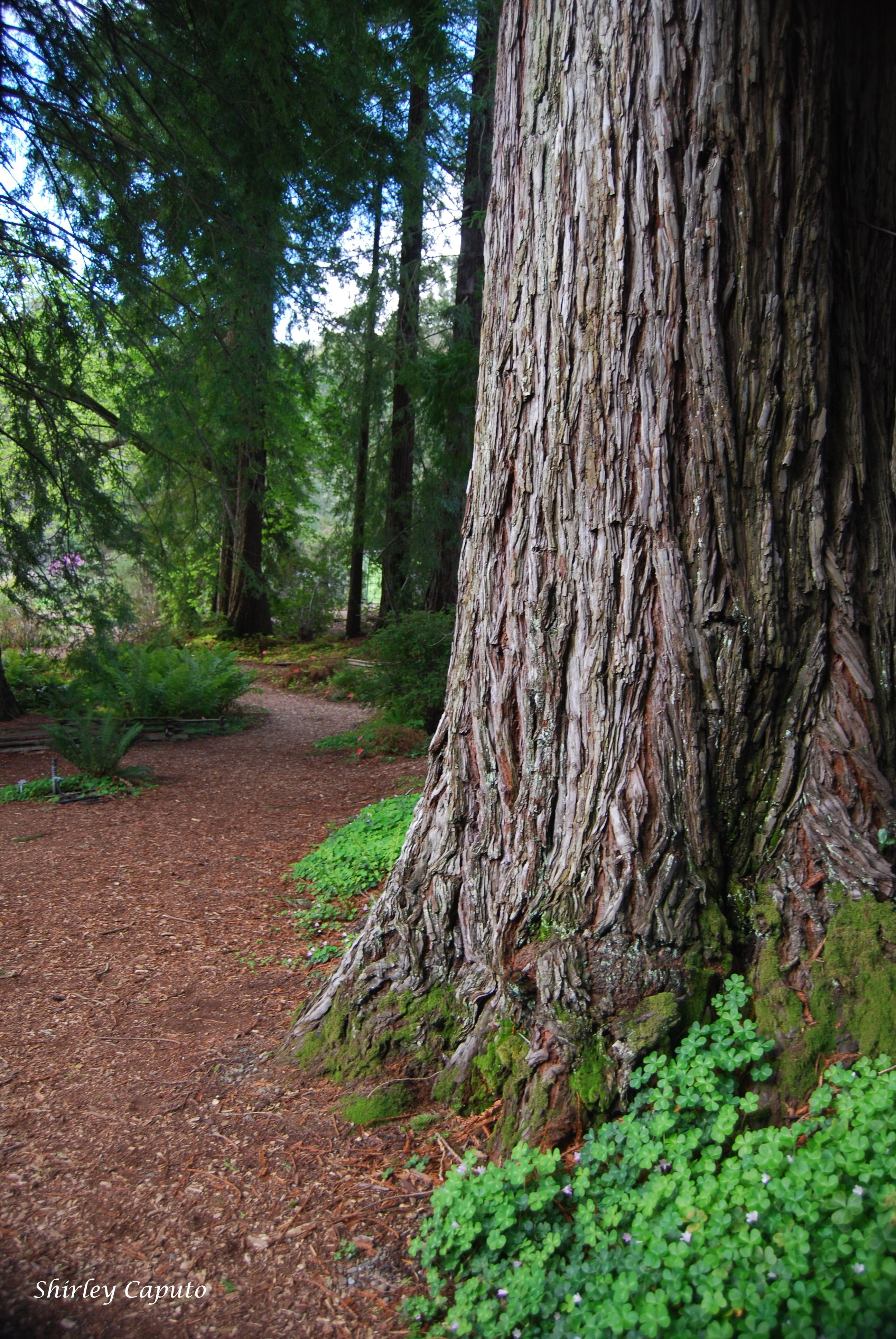 Landscaping With Redwood Trees : Botanical garden redwood by s caputo magnificent trees