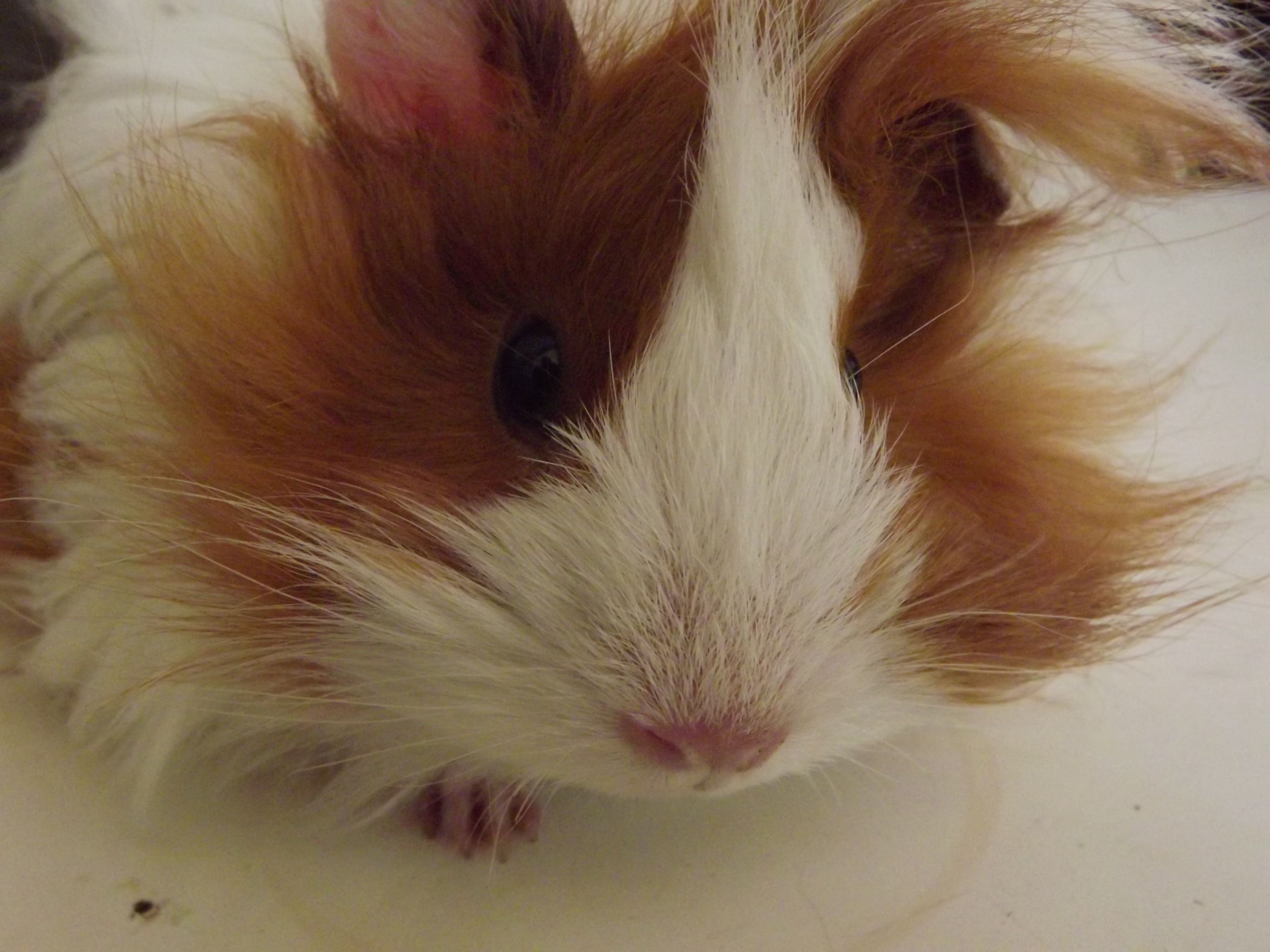 Long haired guinea pig - photo#15