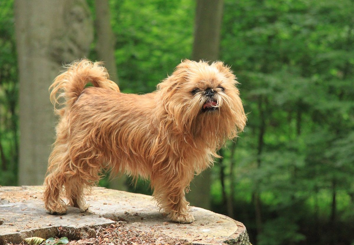 brussels griffon, best dog ever! | Sprout | Pinterest