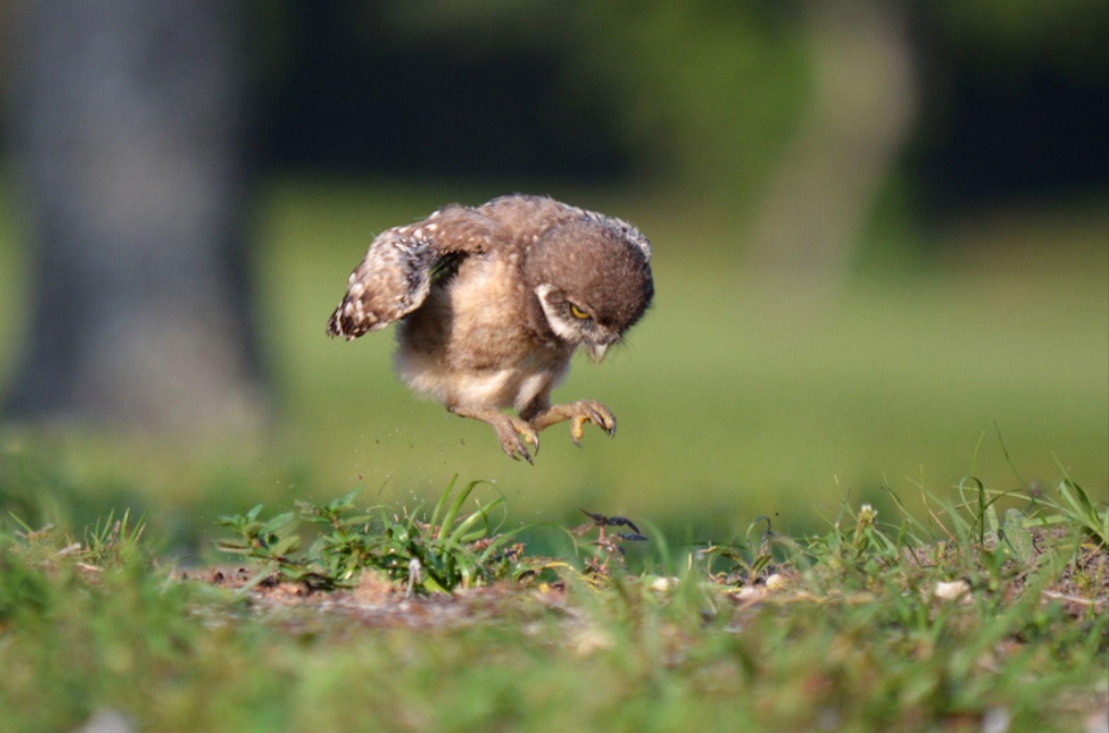 Baby hawk bird - photo#23